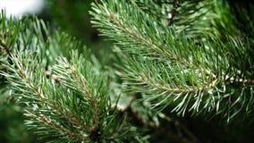 Πράσινοι τραχιοί κλάδοι ενός γούνα-δέντρου ή ενός πεύκου Κλάδοι έλατου της Νίκαιας κλείστε επάνω Φωτεινό αειθαλές φρέσκο δέντρο π Στοκ Εικόνες