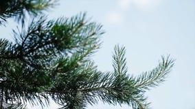 Πράσινοι τραχιοί κλάδοι ενός γούνα-δέντρου ή ενός πεύκου Κλάδοι έλατου της Νίκαιας κλείστε επάνω Φωτεινό αειθαλές φρέσκο δέντρο π Στοκ Φωτογραφία