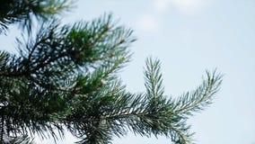 Πράσινοι τραχιοί κλάδοι ενός γούνα-δέντρου ή ενός πεύκου Κλάδοι έλατου της Νίκαιας κλείστε επάνω Φωτεινό αειθαλές φρέσκο δέντρο π Στοκ εικόνες με δικαίωμα ελεύθερης χρήσης