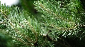 Πράσινοι τραχιοί κλάδοι ενός γούνα-δέντρου ή ενός πεύκου Κλάδοι έλατου της Νίκαιας κλείστε επάνω Φωτεινό αειθαλές φρέσκο δέντρο π Στοκ Εικόνα