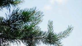 Πράσινοι τραχιοί κλάδοι ενός γούνα-δέντρου ή ενός πεύκου Κλάδοι έλατου της Νίκαιας κλείστε επάνω Φωτεινό αειθαλές φρέσκο δέντρο π Στοκ φωτογραφία με δικαίωμα ελεύθερης χρήσης