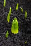 Πράσινοι, υγροί νεαροί βλαστοί εγκαταστάσεων, φύτευση του υάκινθου και βολβοί τουλιπών στοκ εικόνες