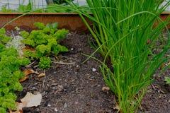 Πράσινοι φρέσκα κρεμμύδια και μαϊντανός Στοκ Εικόνες