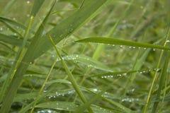 Πράσινοι φρέσκοι κάλαμοι εγκαταστάσεων με την κινηματογράφηση σε πρώτο πλάνο σταγόνων βροχής για το υπόβαθρο στοκ εικόνες