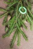 Πράσινοι φρέσκοι κλάδοι έλατου με τους κομψούς κώνους Χριστούγεννα και νέο YE στοκ φωτογραφία με δικαίωμα ελεύθερης χρήσης