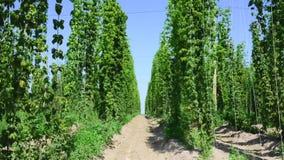 Πράσινοι φρέσκοι κώνοι λυκίσκου για την παραγωγή της κινηματογράφησης σε πρώτο πλάνο μπύρας και ψωμιού Γεωργική ανασκόπηση Timela απόθεμα βίντεο