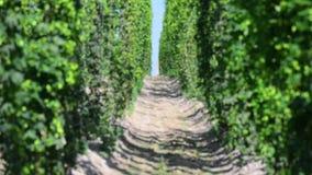 Πράσινοι φρέσκοι κώνοι λυκίσκου για την παραγωγή της κινηματογράφησης σε πρώτο πλάνο μπύρας και ψωμιού Γεωργική ανασκόπηση φιλμ μικρού μήκους