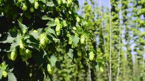 Πράσινοι φρέσκοι κώνοι λυκίσκου για την παραγωγή της κινηματογράφησης σε πρώτο πλάνο μπύρας και ψωμιού Γεωργική ανασκόπηση απόθεμα βίντεο