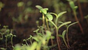 Πράσινοι φρέσκοι νεαροί βλαστοί εγχώριων λουλουδιών ποτίσματος κινηματογραφήσεων σε πρώτο πλάνο στο έδαφος φιλμ μικρού μήκους