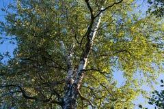πράσινοι φύλλα και κλάδοι μιας σημύδας ενάντια στο βαθύ μπλε ουρανό Στοκ εικόνες με δικαίωμα ελεύθερης χρήσης