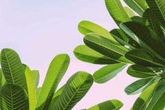 Πράσινοι φύλλο και ουρανός Plumeria Στοκ Φωτογραφία