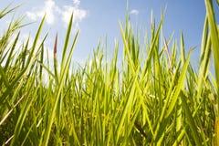 Πράσινοι χλόη και μπλε ουρανός στοκ εικόνες με δικαίωμα ελεύθερης χρήσης