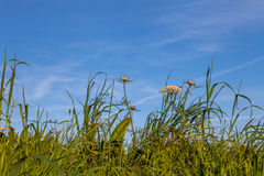 Πράσινοι χλόη και ουρανός Στοκ εικόνες με δικαίωμα ελεύθερης χρήσης
