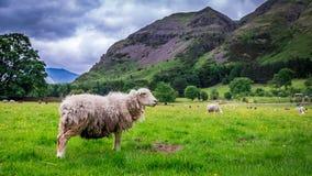 Πράσινοι λόφοι και sheeps στο λιβάδι στη λίμνη περιοχής, Αγγλία Στοκ φωτογραφία με δικαίωμα ελεύθερης χρήσης