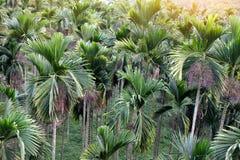 Πράσινοι betel φοίνικες φοινίκων ή areca Στοκ φωτογραφίες με δικαίωμα ελεύθερης χρήσης
