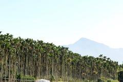 Πράσινοι betel φοίνικες φοινίκων ή areca Στοκ Φωτογραφίες