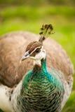 Πράσινοι necked και άφοβος Στοκ φωτογραφία με δικαίωμα ελεύθερης χρήσης