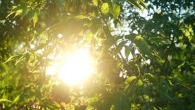 Πράσινος ήλιος κλάδων φύλλων απόθεμα βίντεο