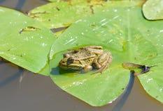 Πράσινος λίγος βάτραχος Στοκ Εικόνες