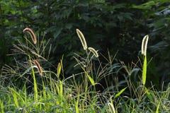 Πράσινος αλωπεκούρος Στοκ εικόνες με δικαίωμα ελεύθερης χρήσης
