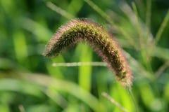 Πράσινος αλωπεκούρος Στοκ φωτογραφία με δικαίωμα ελεύθερης χρήσης