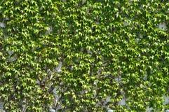 πράσινος αναπτύσσει loach στοκ εικόνα με δικαίωμα ελεύθερης χρήσης