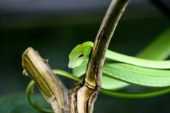 Πράσινος Ασιάτης κτυπά το φίδι Στοκ εικόνα με δικαίωμα ελεύθερης χρήσης