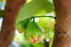 Πράσινος αυξήθηκε μήλο στο δέντρο στο υπόβαθρο του ταϊλανδικού κήπου Στοκ φωτογραφία με δικαίωμα ελεύθερης χρήσης