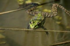 Πράσινος βάτραχος έλους Στοκ εικόνες με δικαίωμα ελεύθερης χρήσης