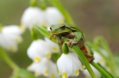 Πράσινος βάτραχος δέντρων κινηματογραφήσεων σε πρώτο πλάνο στο λουλούδι στοκ εικόνα