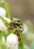 Πράσινος βάτραχος δέντρων κινηματογραφήσεων σε πρώτο πλάνο στο λουλούδι στοκ φωτογραφία