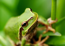 Πράσινος βάτραχος δέντρων κινηματογραφήσεων σε πρώτο πλάνο Στοκ φωτογραφία με δικαίωμα ελεύθερης χρήσης
