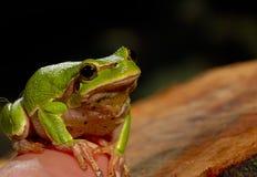 Πράσινος βάτραχος δέντρων κινηματογραφήσεων σε πρώτο πλάνο Στοκ Εικόνες