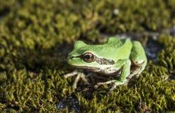 Πράσινος βάτραχος δέντρων στο βρύο Στοκ Φωτογραφία