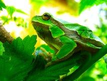 Πράσινος βάτραχος δέντρων σε έναν κλάδο μεταξύ του φυλλώματος στοκ φωτογραφίες