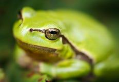 Πράσινος βάτραχος δέντρων Στοκ Εικόνες