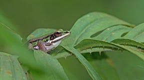 Πράσινος βάτραχος ορυζώνα, όμορφος βάτραχος, βάτραχος στο πράσινο φύλλο Στοκ Εικόνα