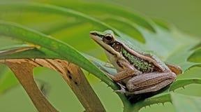 Πράσινος βάτραχος ορυζώνα, όμορφος βάτραχος, βάτραχος στο πράσινο φύλλο Στοκ Εικόνες