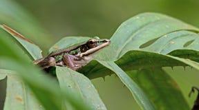 Πράσινος βάτραχος ορυζώνα, όμορφος βάτραχος, βάτραχος στο πράσινο φύλλο Στοκ εικόνες με δικαίωμα ελεύθερης χρήσης