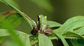 Πράσινος βάτραχος ορυζώνα, όμορφος βάτραχος, βάτραχος στο πράσινο φύλλο Στοκ εικόνα με δικαίωμα ελεύθερης χρήσης