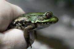 Πράσινος βάτραχος ποταμών που κρατιέται σε ένα χέρι προσώπων Στοκ φωτογραφία με δικαίωμα ελεύθερης χρήσης