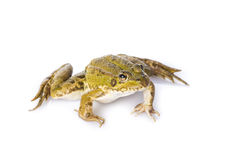 Πράσινος βάτραχος που απομονώνεται σε ένα άσπρο υπόβαθρο Στοκ Εικόνες