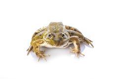 Πράσινος βάτραχος που απομονώνεται σε ένα άσπρο υπόβαθρο Στοκ εικόνα με δικαίωμα ελεύθερης χρήσης
