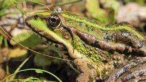 Πράσινος βάτραχος σε αναζήτηση των τροφίμων Στοκ φωτογραφίες με δικαίωμα ελεύθερης χρήσης