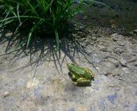 Πράσινος βάτραχος στην πράσινη χλόη στοκ φωτογραφίες