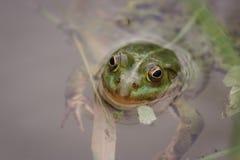 Πράσινος βάτραχος στη λίμνη κατωφλιών Στοκ Φωτογραφίες