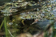 Πράσινος βάτραχος στο έλος Στοκ εικόνα με δικαίωμα ελεύθερης χρήσης