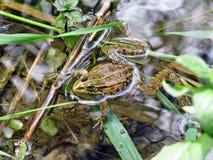 Πράσινος βάτραχος στο εθνικό πάρκο Krka Στοκ φωτογραφία με δικαίωμα ελεύθερης χρήσης