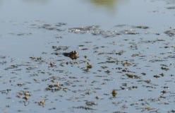 Πράσινος βάτραχος στο νερό Εδώδιμος βάτραχος στο νερό στοκ φωτογραφία