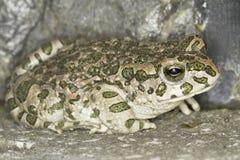 Πράσινος βάτραχος φρύνων (viridis Bufo) στο φυσικό υπόβαθρο Στοκ Εικόνες